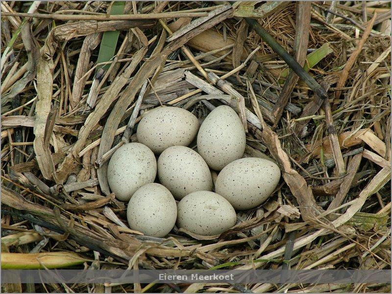 Eieren Meerkoet