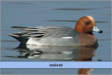 smient